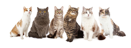 Photo pour A group of six cats sitting together. Image sized to fit into a popular social media timeline cover image placeholder - image libre de droit