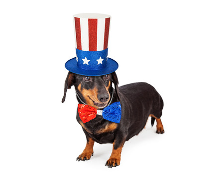 A cute Dachshund breed dog wearing a patriotic red, white and blue hat and tie to celebrate America