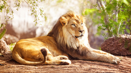 Photo pour Beautiful large African Lion laying down with trees in the background - image libre de droit