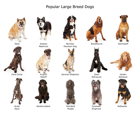 Photo pour A group of fifteen common large breed dogs together - image libre de droit