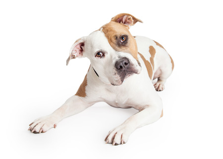 Beautiful tan and white color American Staffordshire Terrier Pit Bull dog laying down and looking forward with head tilted