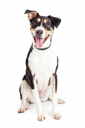 Cute and happy mixed breed medium size family dog sitting and looking forward into the camera with mouth open and tongue out