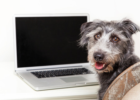 Happy scruffy terrier mixed breed dog sitting next to a laptop computer with a blank screen to enter your website image onto