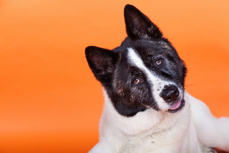 Portrait of black mask Akita with head cocked lying over orange background