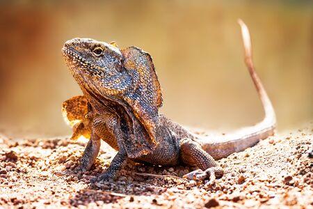Closeup of alert frilled neck lizard (Chlamydosaurus kingii) on land