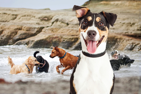 Photo pour Closeup of a happy dog with a group of dogs of different breeds playing in the ocean in the background - image libre de droit