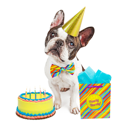 Funny French Bulldog breed dog wearing birthday hat and bowtie with cake and present