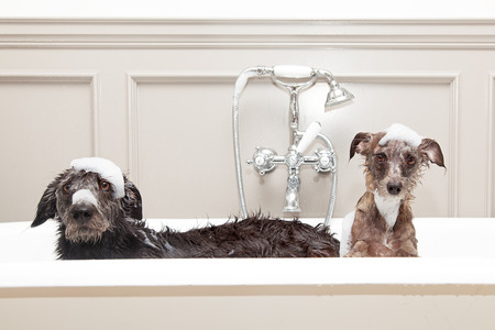 Photo pour Two different size terrier dogs in tub with unhappy expressions and soap suds on heads. - image libre de droit