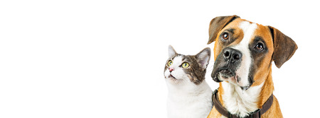 Photo pour Closeup of attentive mixed breed Boxer dog and cat together looking up into blank white copy space on a horizontal website or social media banner. - image libre de droit