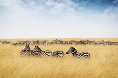 Foto de Herd of zebra in Kenya, Africa with tall red oat grass and blue sky - Imagen libre de derechos