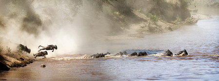 Wildebeest leaping into the Mara River in Kenya Africa during migration season. Sized for website or social media banner
