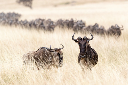 Wildebeest standing in tall oat grass field in the Masai Mara in Kenya, Africa with a herd crossing in the background