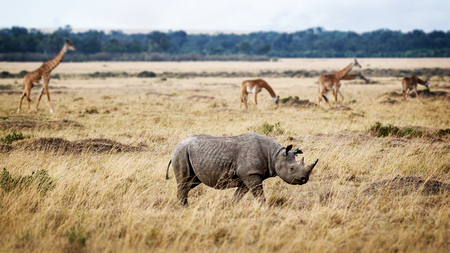 Photo pour Critically endangered black rhinoceros walking in the grasslands of Kenya, Africa with Masai giraffe in the background - image libre de droit