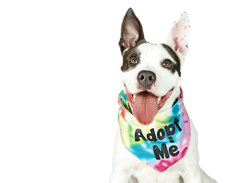 Photo pour Bull Terrier crossbreed dog with happy expression wearing Adopt Me tie-dye bandana - image libre de droit