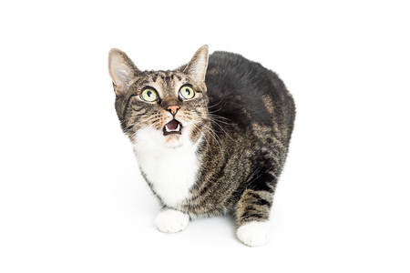 Photo pour Funny cat on white with surprised expression on face. Mouth open and eyes wide. - image libre de droit
