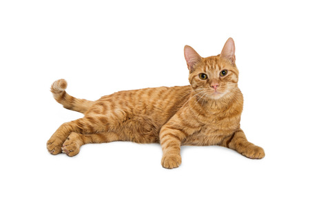 Photo pour Pretty orange tabby cat lying down on white looking into camera - image libre de droit