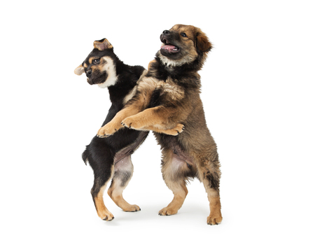 Photo for Two cute Chow and Rottweiler mixed breed puppies standing up and play wrestling together - Royalty Free Image