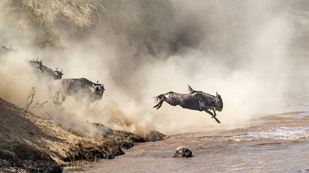 Blue Wildebeest leaping into the Mara River in Kenya, Africa during migration season