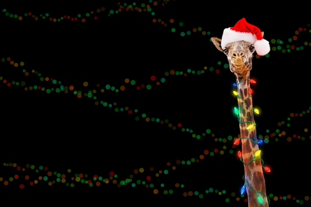 Foto de Giraffe zoo animal wrapped in illuminated Christmas holiday lights wearing Santa hat with room for text in black background with colorful bokeh. - Imagen libre de derechos