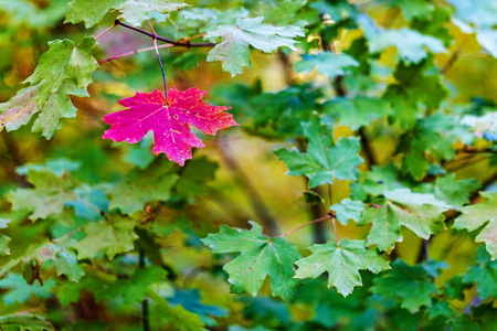 Foto per One red maple leaf among green leaves indicating change of season - Immagine Royalty Free