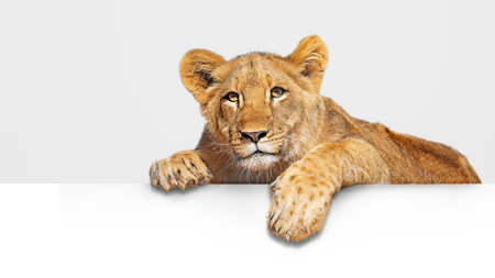 Photo pour Cute young lion cub hanging paws over blank white sign or web abnner - image libre de droit