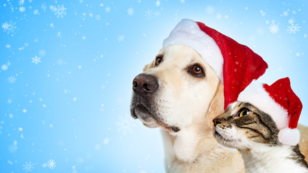 Foto de Christmas Yellow Labrador dog and cat together wearing Santa Claus hats looking to side with room for text - Imagen libre de derechos