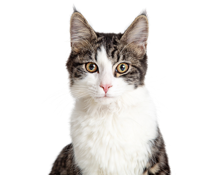 Photo pour Closeup portrait pretty young tabby and white cat isolated on white background facing and looking forward. - image libre de droit