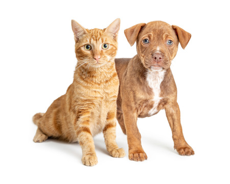 Foto de Cute small puppy dog and young orange cat together over white background - Imagen libre de derechos
