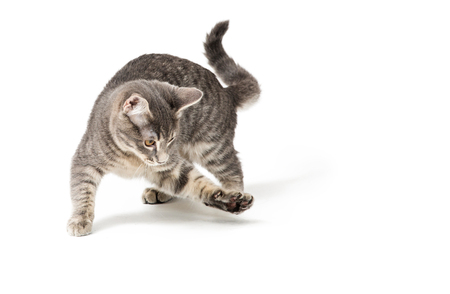 Photo pour Cute funny kitten running around and raising paw to bat and play - image libre de droit