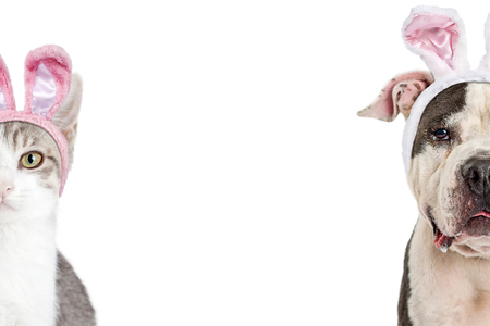 Photo for Dog and cat wearing Easter bunny rabbit ears. Closeup of faces cropped in half with room for text in white background. - Royalty Free Image
