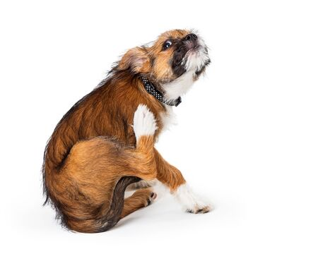 Photo pour Young shaggy terrier puppy scratching an itch on irritated skin - image libre de droit