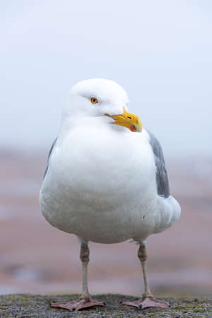 Photo for Herring gull at Schoodic Point in the Acadia National Park, Maine, United-States. - Royalty Free Image
