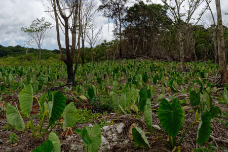 Photo pour Taro growing in Niue, it is one of the most ancient cultivated crops in the world - image libre de droit