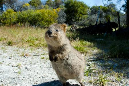Photo pour Quokka - Rottnest Island - Australia - image libre de droit