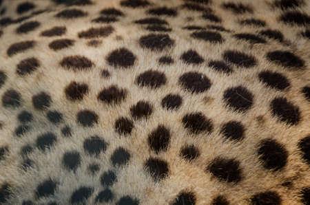 Close-up view of the skin of a cheetah (Acinonyx jubatus)