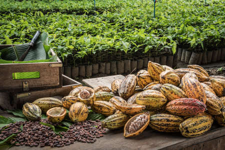 Photo pour Cocoa Beans and Cocoa Fruits, Fresh cocoa pod cut exposing cocoa seeds, with a cocoa plant in background. - image libre de droit