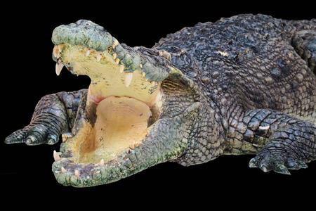 Photo pour Crocodile isolated  on black  background - image libre de droit