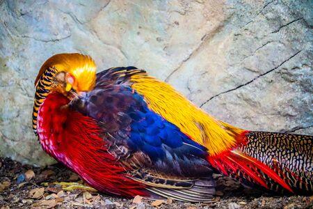Photo pour golden pheasant is sleeping - image libre de droit