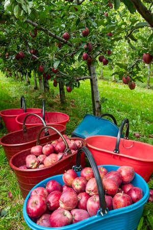 Foto für Royal Gala apples in the orchard - Lizenzfreies Bild
