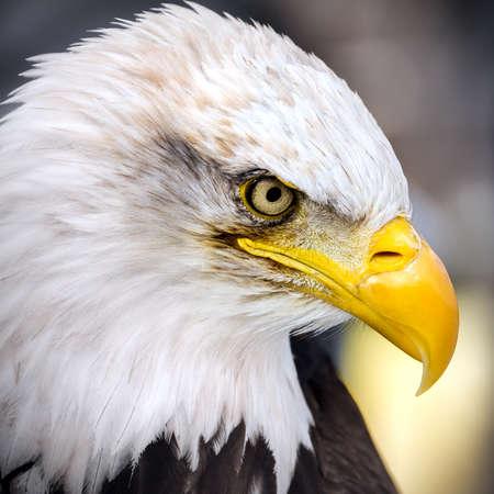 Photo pour American Eagle - portrait - close up - image libre de droit