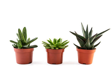Photo for Succulents isolated on a white background. Succulents plant in a pot - Royalty Free Image