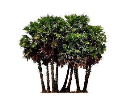 Photo pour Group of sugar palm tree isolated on white background. - image libre de droit