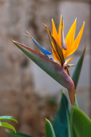 A single Bird of Paradise (Strelitzia) flower in bloom