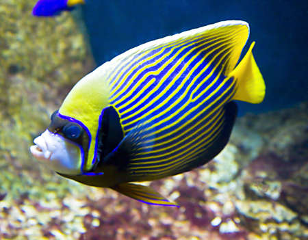 Tropical fish Fish-emperor,or fish-angel, latin name Pomacanthus imperator,  blue and yellow colours.