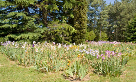Big flowerbed with many irises of different colours, recorded in University Botanic gardens Ecopark (Ecological park) n Saint Constantine and Saint Helen resort, Bulgaria.