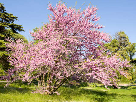 Cercis tree in blossom in park of Saint Constantine and Helen resort, Bulgaria.