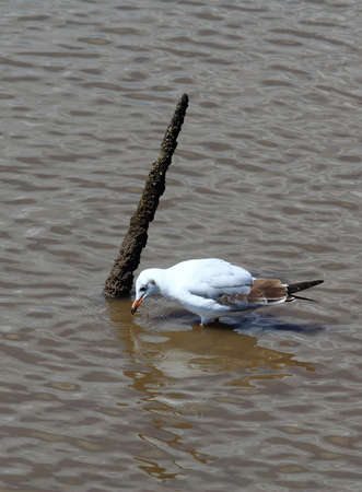 A Seagull Drinking Water Near The Branch On Wetlands