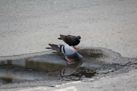 Pigeon Drinking Water From Flooding On Street