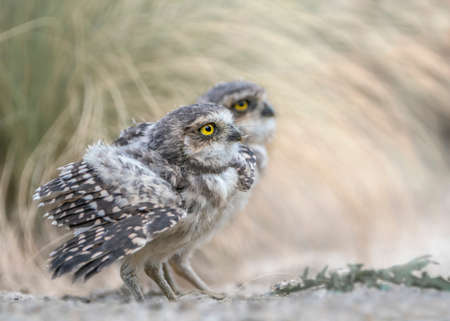 Photo pour Twins, two Juvenile Burrowing owl (Athene cunicularia) on the ground in front of their burrow and grass. North Brabant in the Netherlands. - image libre de droit
