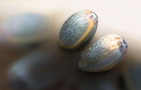 Close view of two hemp seeds in a blurred background